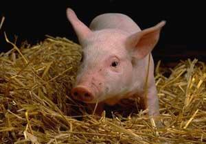 Белорусам хотят запретить держать свиней