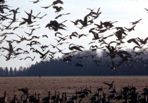 Список птиц Беларуси пополнится тремя новыми видами